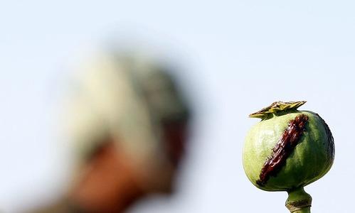 Afghanistan's spring harvest