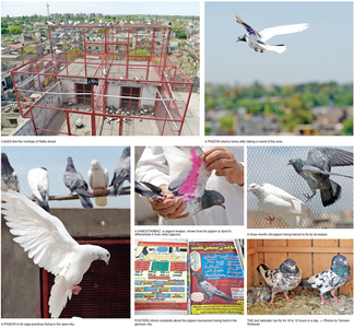 'Pigeon-keeping has morphed into an industry'