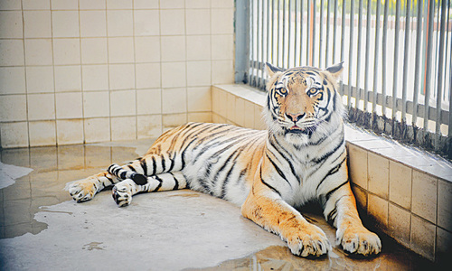 Another Bengal tiger dies in Karachi zoo