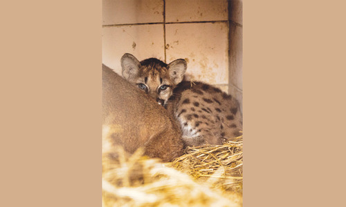 Puma triplets born at zoo