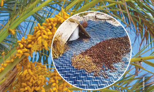 Initiatives for dates processing plants