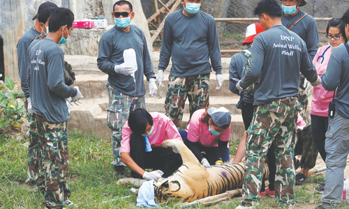 Tug-of-war resumes over Thai temple tigers