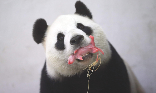 'It's a boy!': Chinese panda gives birth in Belgium