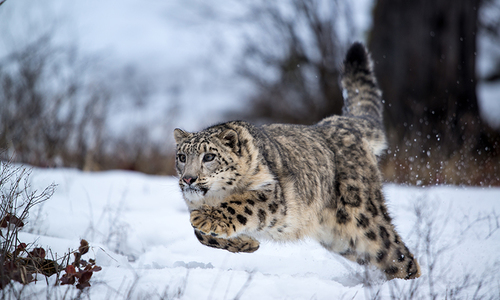 Pakistan's last 200 snow leopards — and one man's unrelenting efforts to save them