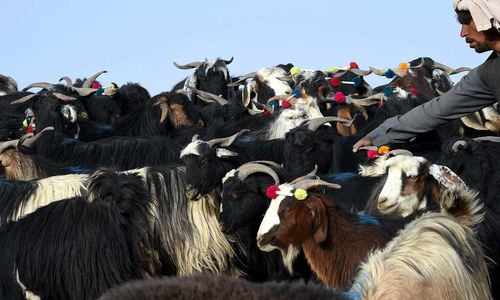 Afghan bandits snatch more goats in Chitral