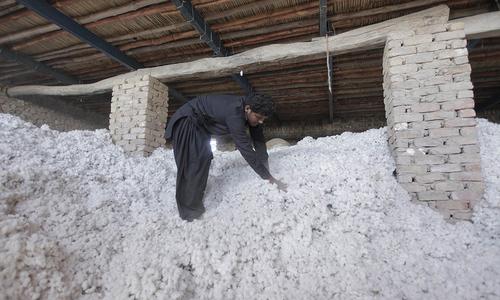 Cotton market steady