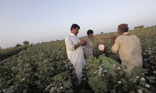 Govt eyes 13m cotton bales this year
