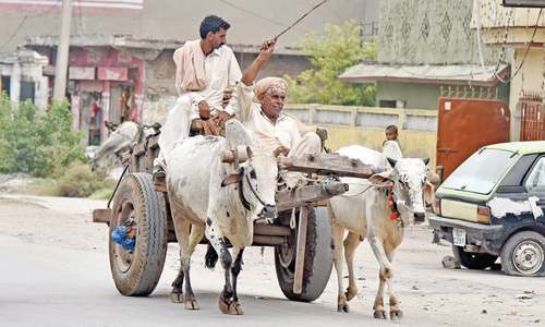 Bull carts reduced to history
