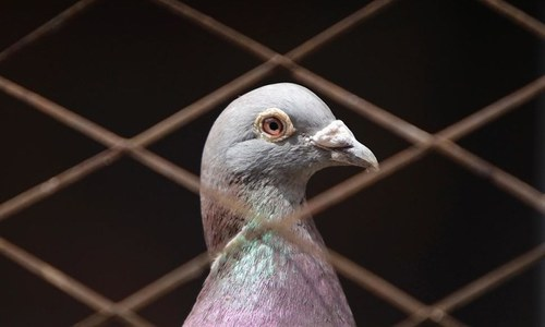 The pigeon express (or how to spy better)