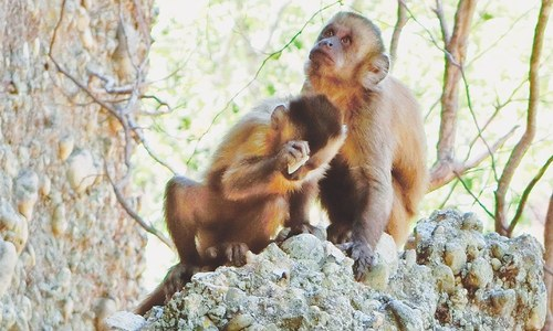 Monkeys break new ground on stone tool theory