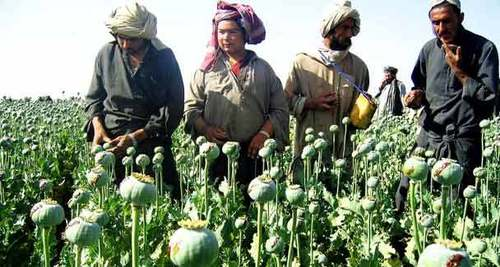 Opium cultivation on the rise in Afghanistan