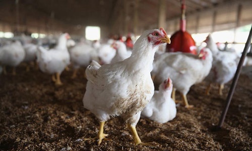 Chicken meat found contaminated with high levels of arsenic