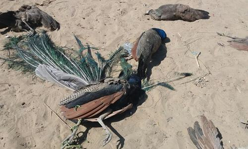 At least 150 peacocks reportedly die of contagious disease in Thar
