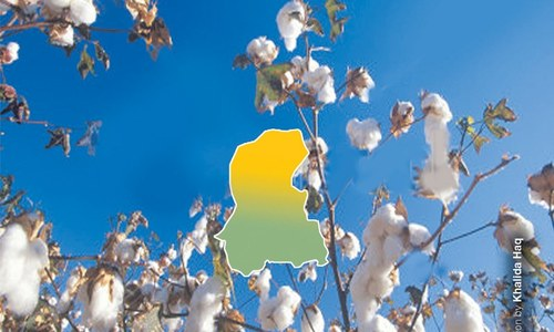 Sindh's cotton acreage likely to increase
