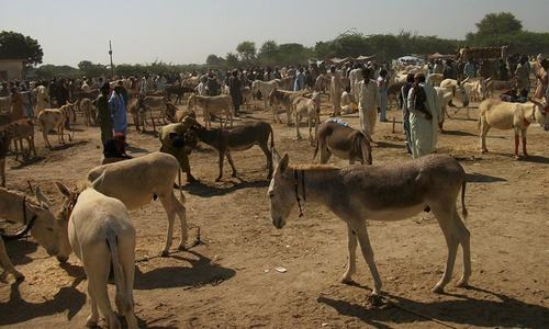 KP govt proposes plan to regulate donkey rearing and export to China