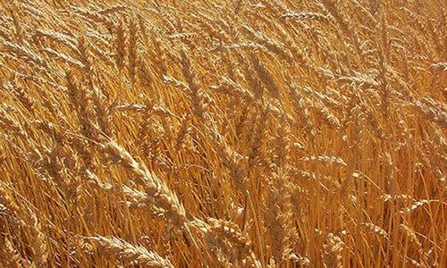 15 wheat procurement centres set up