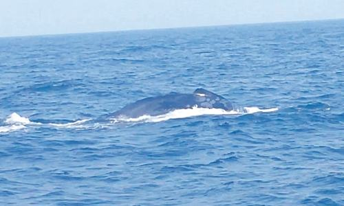 Whale sightings on the rise with WWF-P's crew-based observer programme, says report
