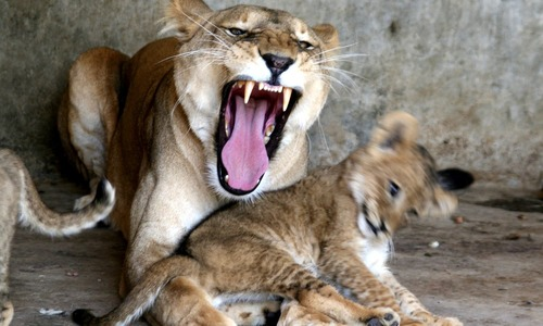 Lioness gives birth to four cubs