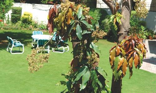 GARDENING: DON'T CRITICISE YOUR MANGO TREE