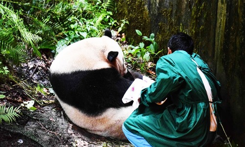 China welcomes world's first panda born to wild, captive pair of parents