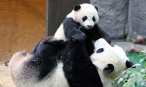 Panda surprises zookeepers by giving birth to twins at 23