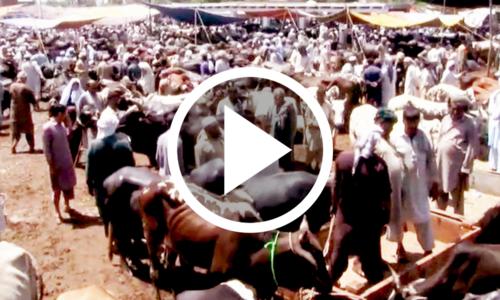 عیدالاضحٰی قریب آتے ہی پشاور میں مویشی منڈیاں سج گئیں