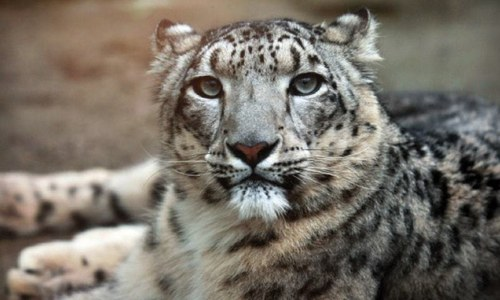 A UN prize-winning NGO's remarkable efforts to save the snow leopards of Pakistan from extinction
