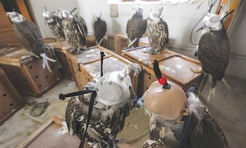 Qatar's citizen arrested at Lahore airport while trying to smuggle 9 falcons worth Rs50m