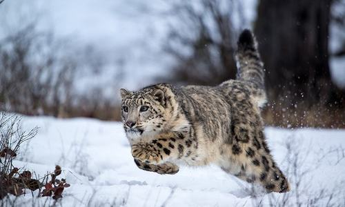 The secret behind the remarkable success of snow leopard conservation in Pakistan