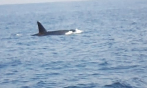 Killer whales seen off Churna Island in rare sighting