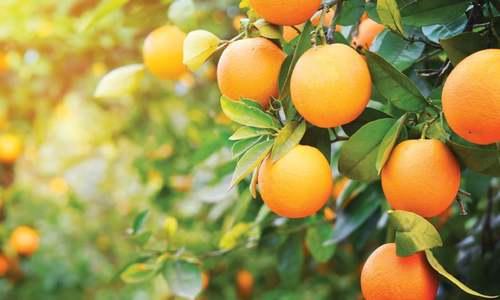 A sour season for kinno exports