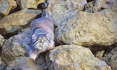 'Near threatened' Pallas's cat spotted in Kurram tribal region