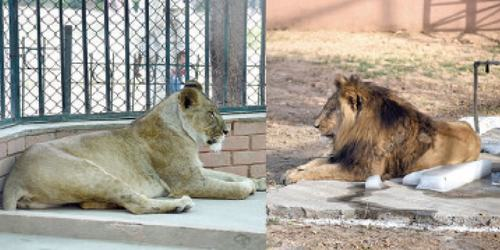 Lion pair at Marghazar Zoo being kept apart