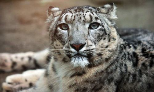 Snow leopard dies in Peshawar Zoo