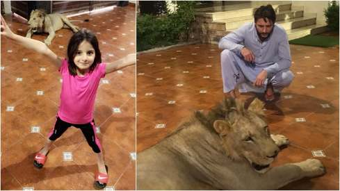 Sindh Wildlife Department orders inquiry into Shahid Afridi's lion episode