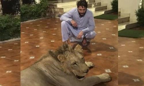 شاہد آفریدی کے گھر پر شیر کی موجودگی سے متعلق تحقیقات شروع