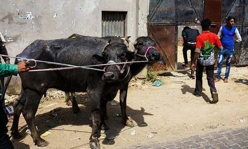 بھارت: مشتعل افراد نے گائے کی اسمگلنگ کے شبہ میں مسلمان شخص کا قتل کردیا