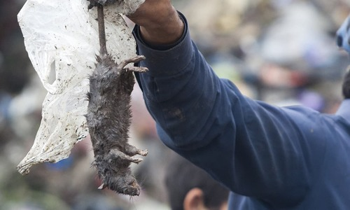 7 people are bitten by rats in Peshawar everyday. How will this stop?