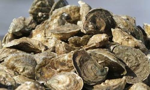 Researchers turn to oysters as pollution-tracking sentinels