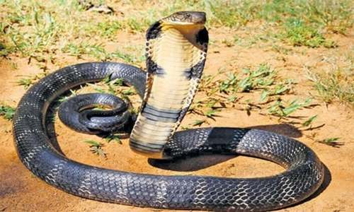 انگلش ٹیم کی پریکٹس کے دوران 'کوبرا سانپ' گھس آیا
