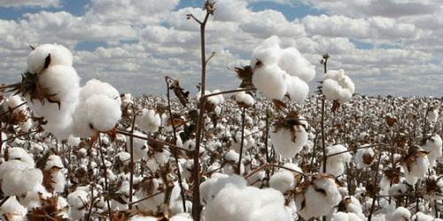 Cotton production edges up