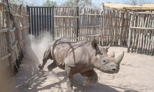 Two rhinos die  in Chad after relocation from South Africa