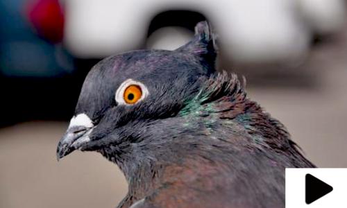 کبوتروں کا منفرد کھیل