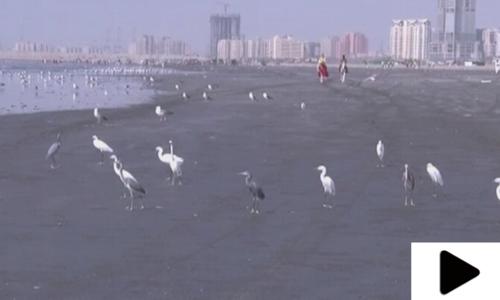 سائیبیریا  سے ہجرت کرنے والے پرندے کراچی کے ساحل پر پہنچ گئے