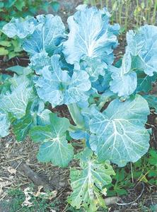 GARDENING: THE BOLD AND THE BRASSICAS