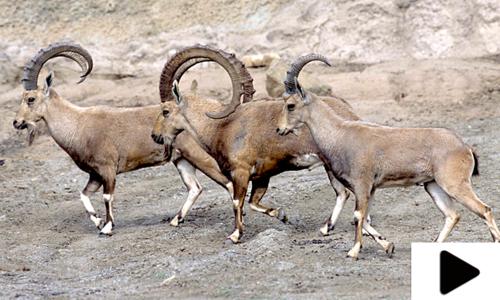 مارخور اور دیگر جنگلی جانوروں کا خوراک کی خاطر آبادی کا رخ