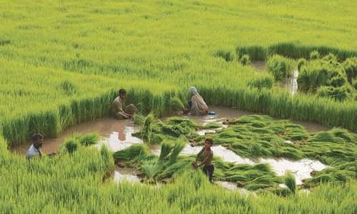 Exploit Basmati rice export potential: ADB study