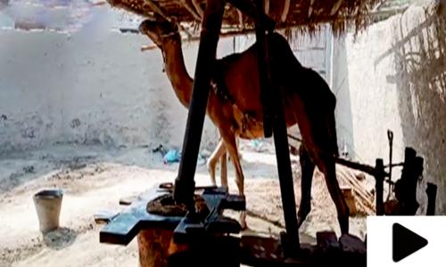 عمرکوٹ میں 100سال قدیم کولہو آج بھی آباد