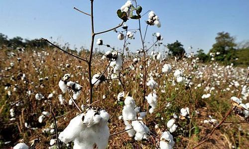 High input cost, water shortage hit cotton production