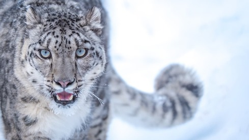This Pakistani documentary is about saving the snow leopard